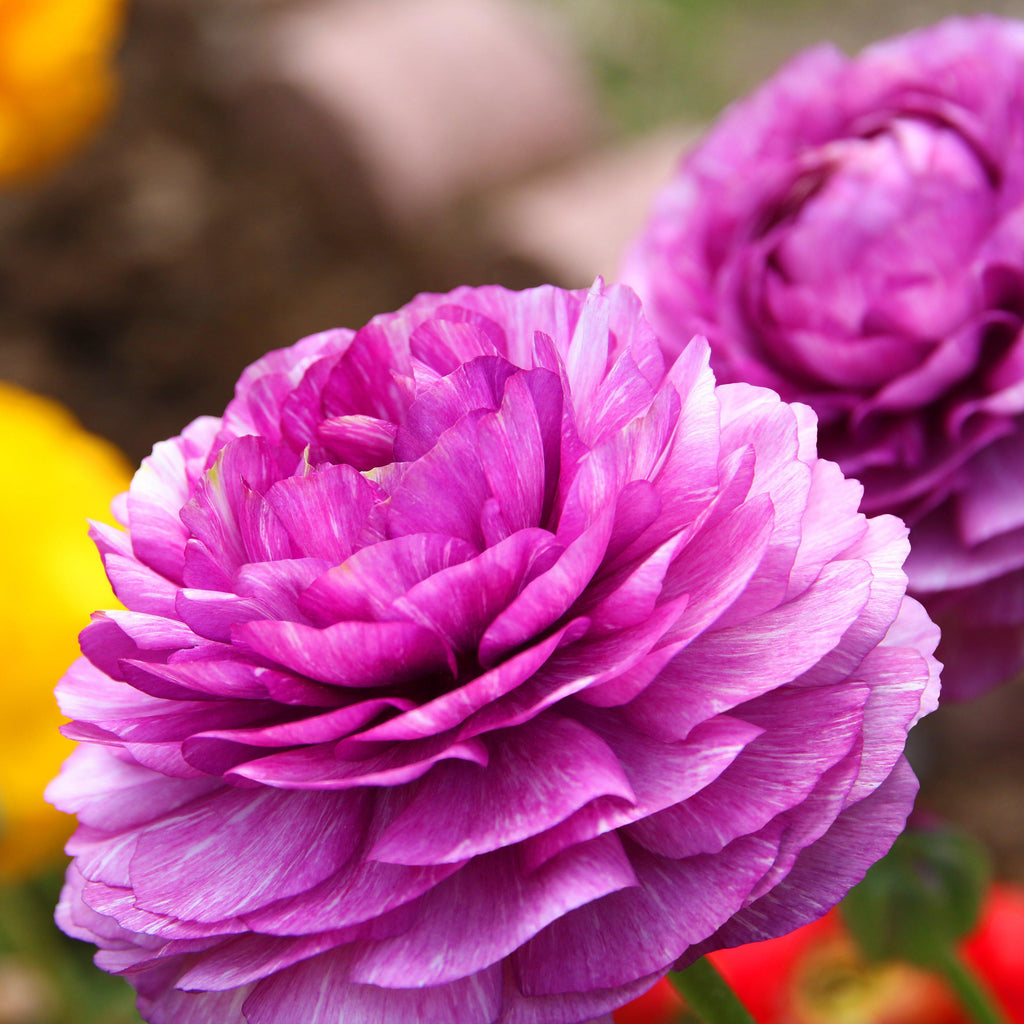 Purple Ranunculus Flower