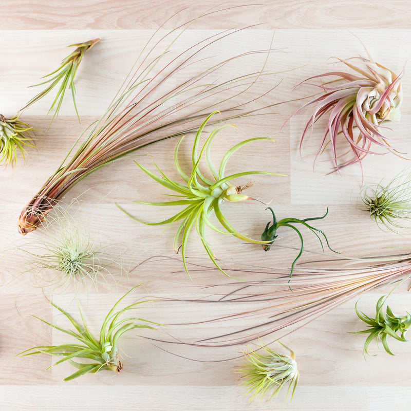 Assorted Tillandsia Collection - 10 Pack Air Plant Mix