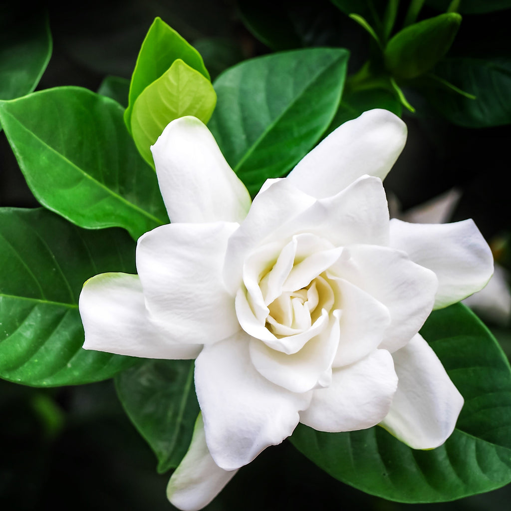Fragrant Gardenia Plant - Fully Rooted in Pot