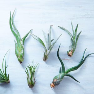 Assorted Tillandsia Collection - 5 Pack Air Plant Mix