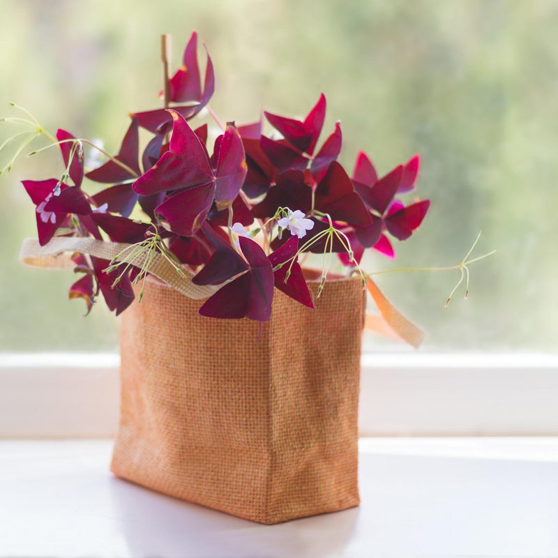 Purple Shamrock in a Bag