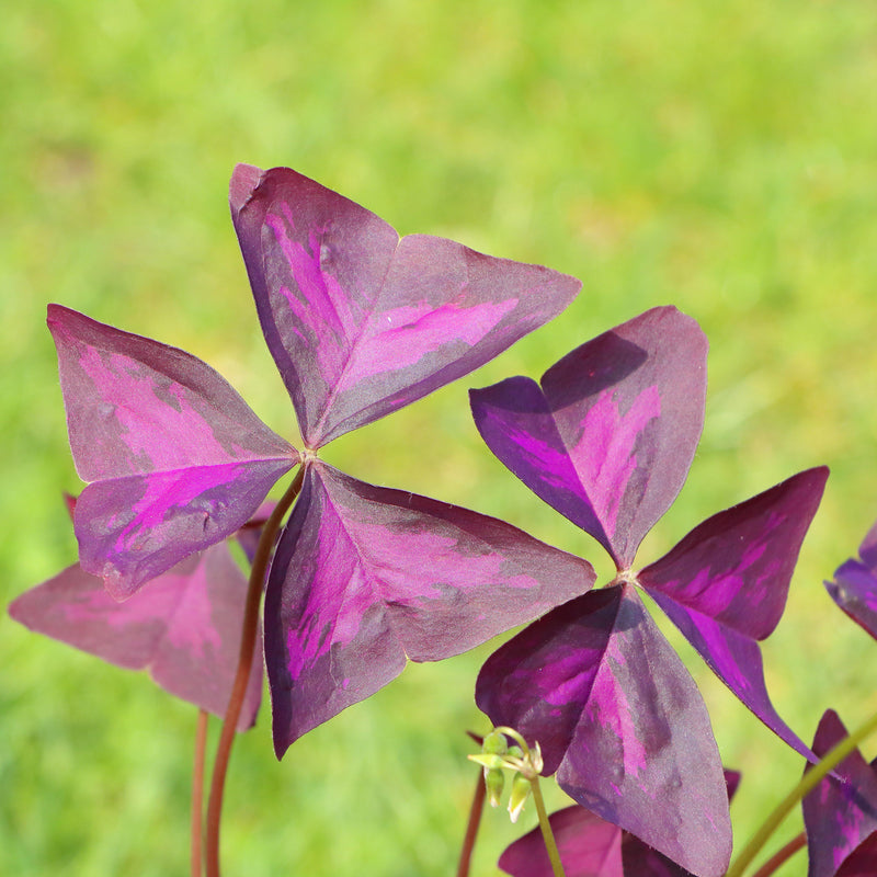 Close Up Purple Flowers Oxalis Triangularis