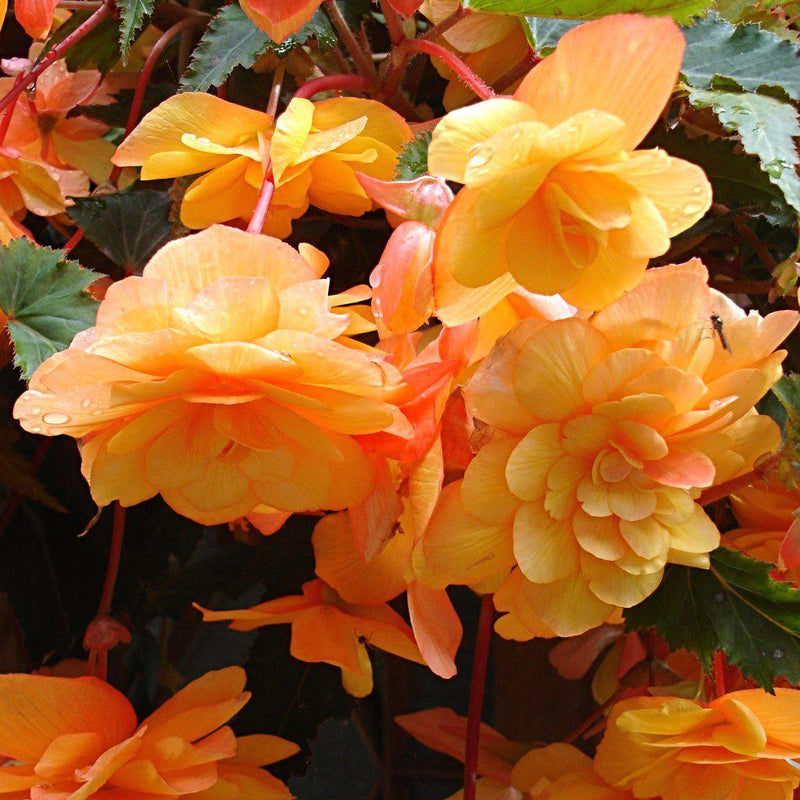 Orange Begonia Hanging Basket Sunkissed Mix