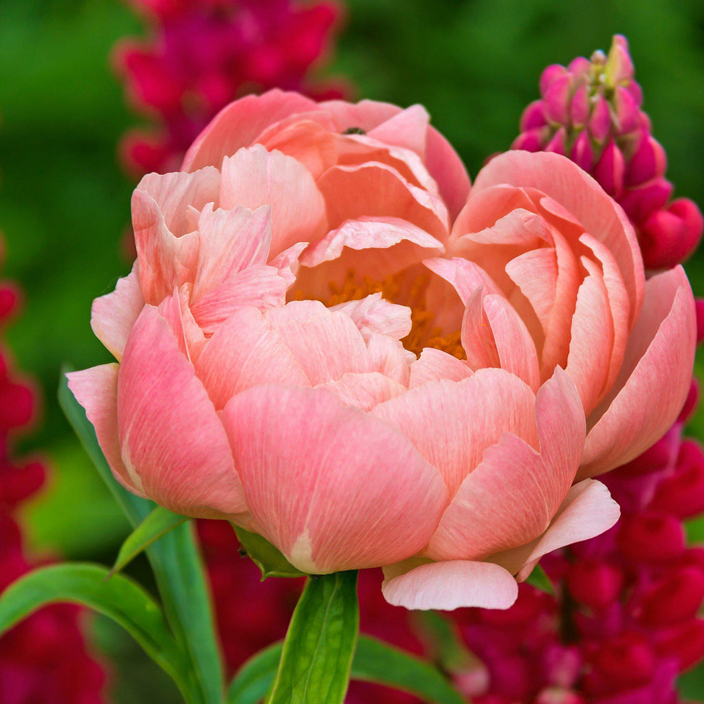 Light Coral Peony Bulbs For Sale Pink Hawaiian Coral Easy To