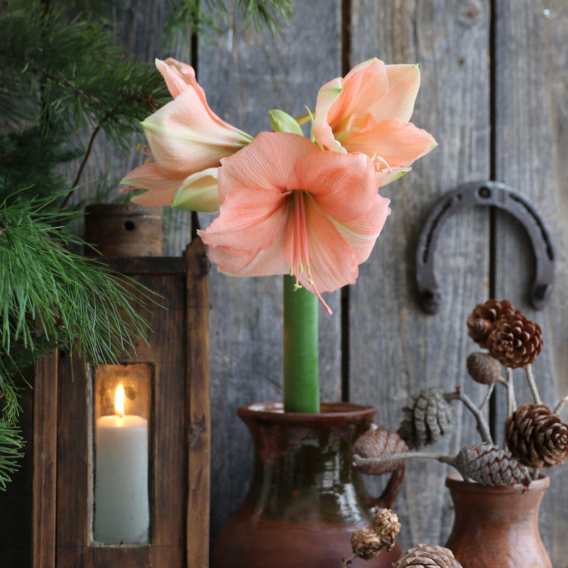 Peach Colored  Amaryllis Exotica