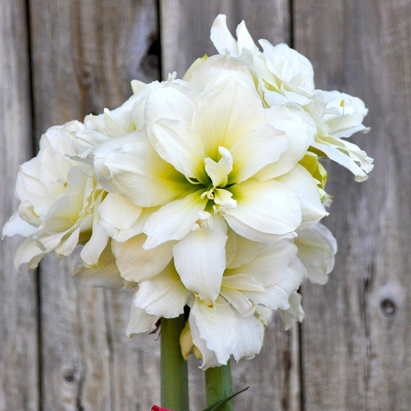 blooming white snow drift amaryllis
