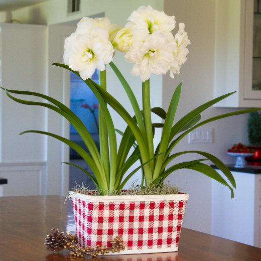 Amaryllis Snow Drift Gift in a Basket (Duo) - Free Shipping