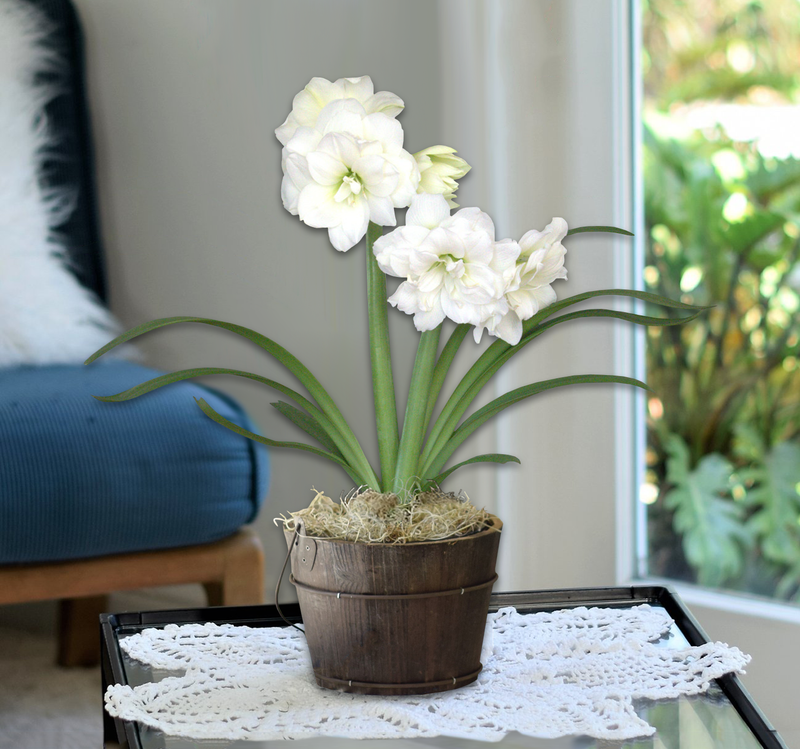 Amaryllis Snow Drift in Orchard Bucket- Free Shipping!