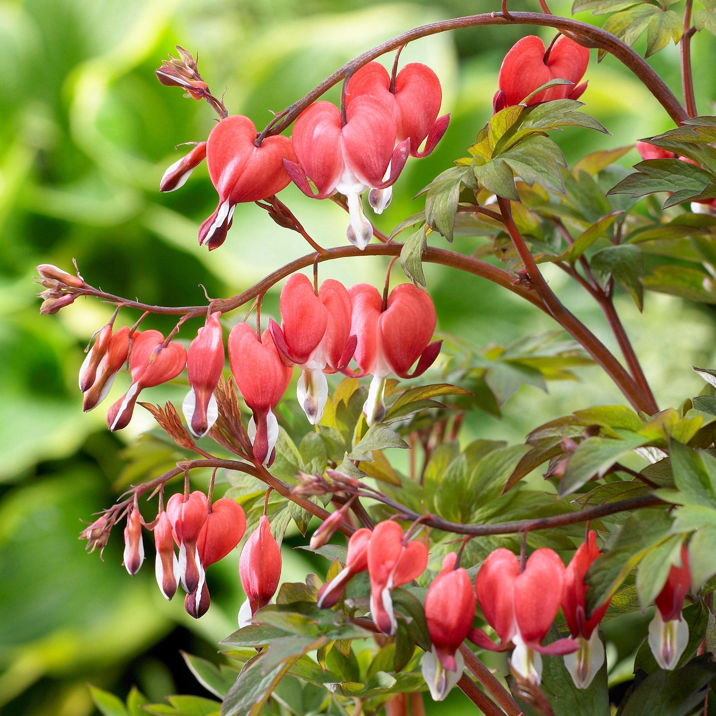 Red Bleeding Hearts | Lady in the Bath | Dicentra Spectabilis ...