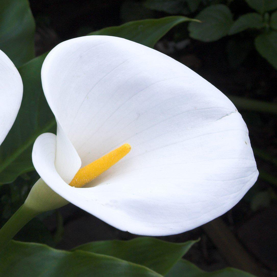 Stunning White Calla Lily Aethiopica Bulbs For Sale White Giant