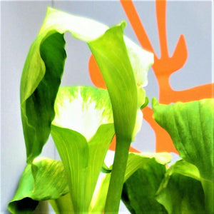 Calla Lily Green Goddess Flower