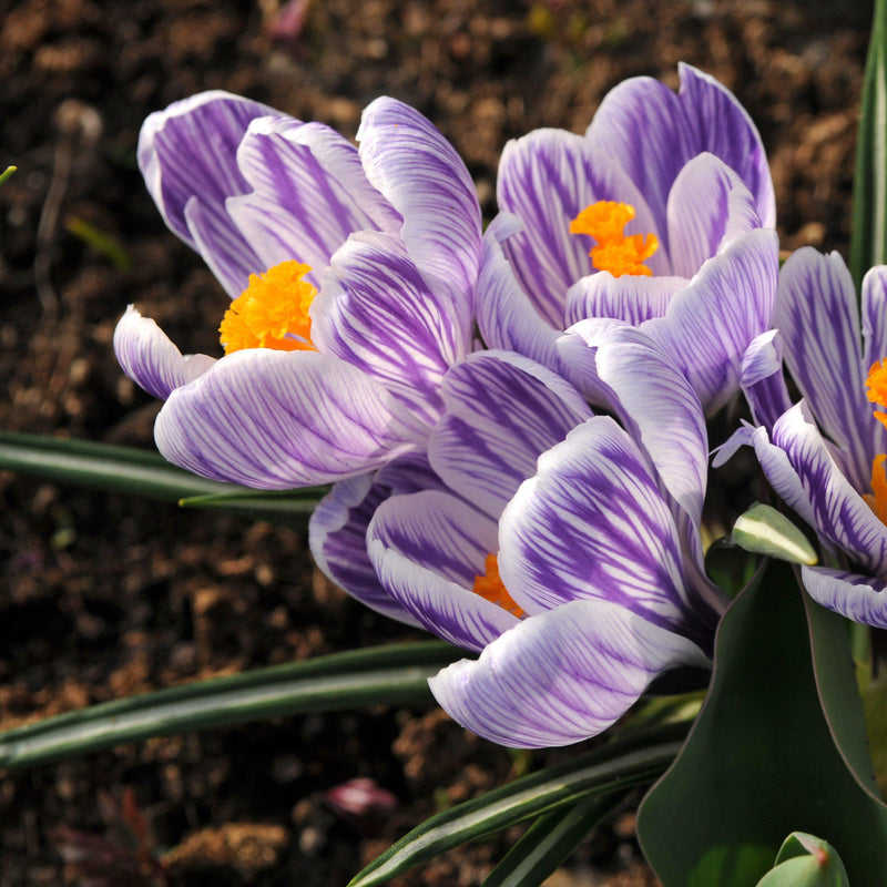 King of the Striped Purple Crocus
