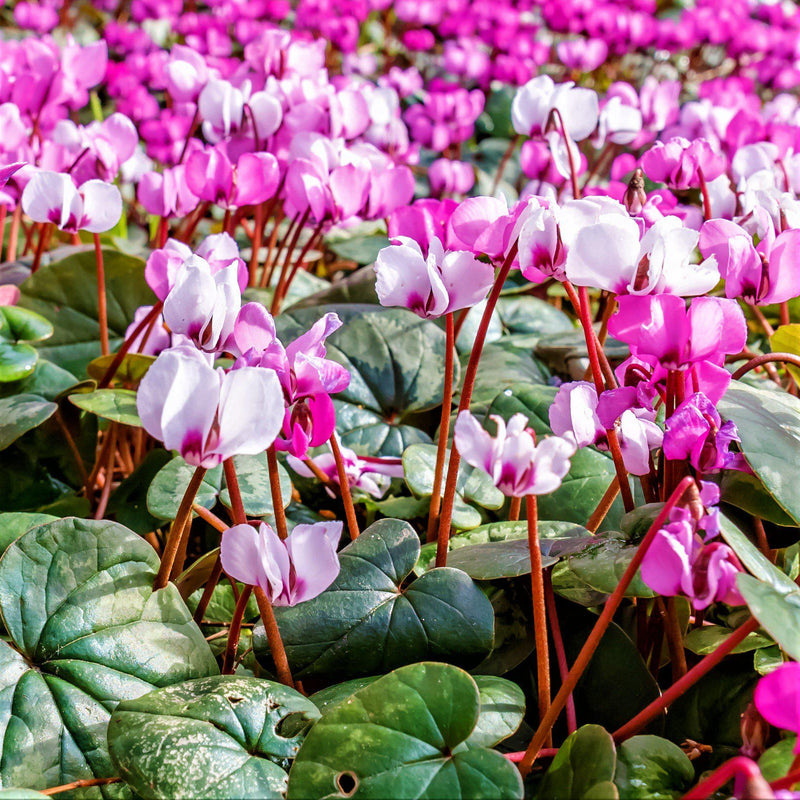 Cyclamen Angel Flutter Mix