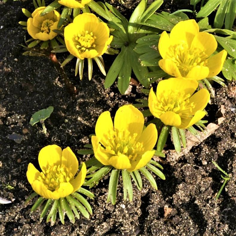 Planted Winter Aconite Yellow Flowers