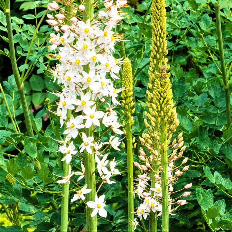 Eremurus Robustus (Foxtail Lily, Desert Candle)