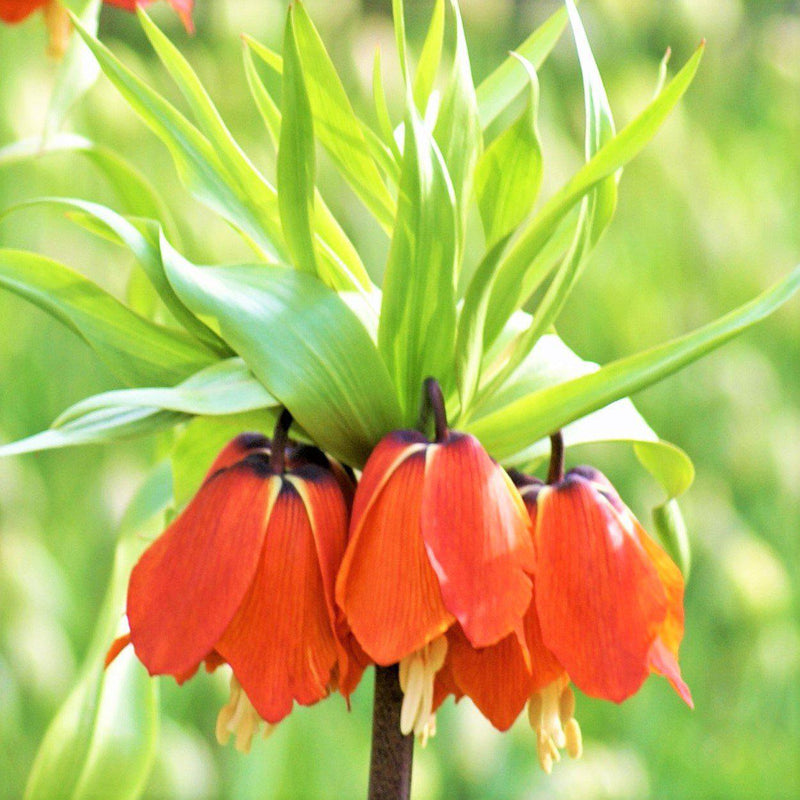 Fritillaria Crown Imperial Red