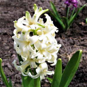 products/sq1Hyacinth_White_Pearl.SHUT_7.jpg
