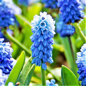 products/sq1Muscari_Azureum.DV_1.jpg