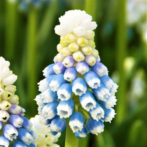 Grape Hyacinth Mt. Lady