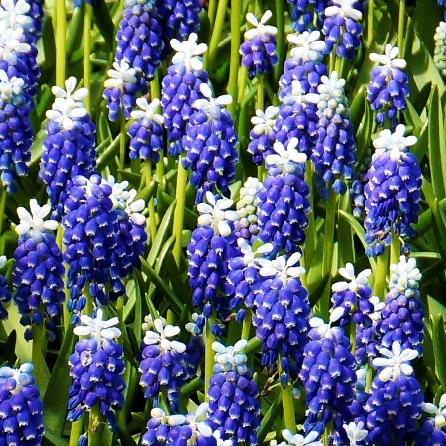 Grape Hyacinth Touch of Snow