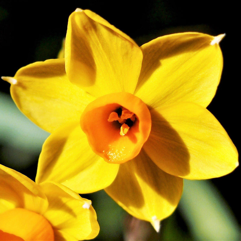 Narcissus Baby Boomer