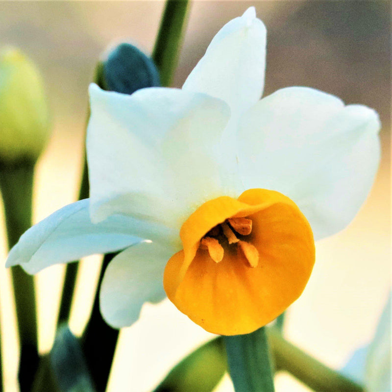 Narcissus Chinese Sacred Lily