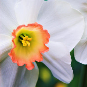 products/sq1Narcissus_Fragrant_Rose.SHUT_1.jpg