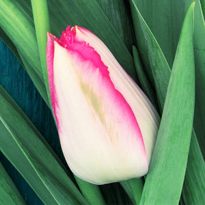 products/sq1Tulip_Judith_Leyster.SHUT.jpg