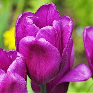 products/sq1Tulip_Negrita1.SHUT.jpg