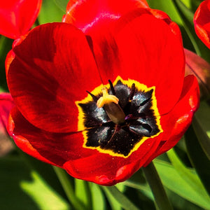 products/sq1Tulip_Parade1.SHUT.jpg