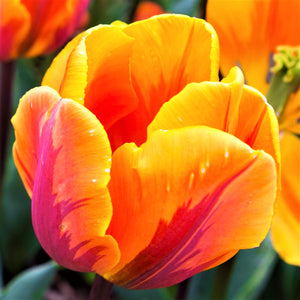 products/sq1_Tulip_Princess_Irene2.SHUT.jpg