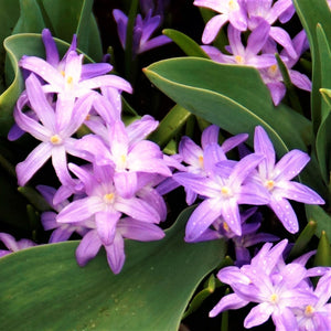 products/sq2Chionodoxa_Pink_Giant.DV.jpg