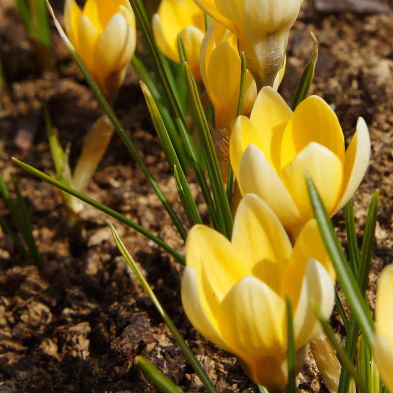 Close up on blooming crocus chrysanthus cream