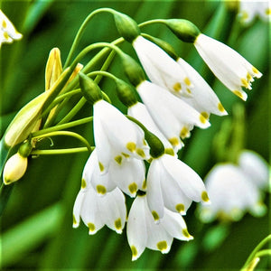 products/sq2Leucojum_Gravetye_Giant.IBULB_10.jpg