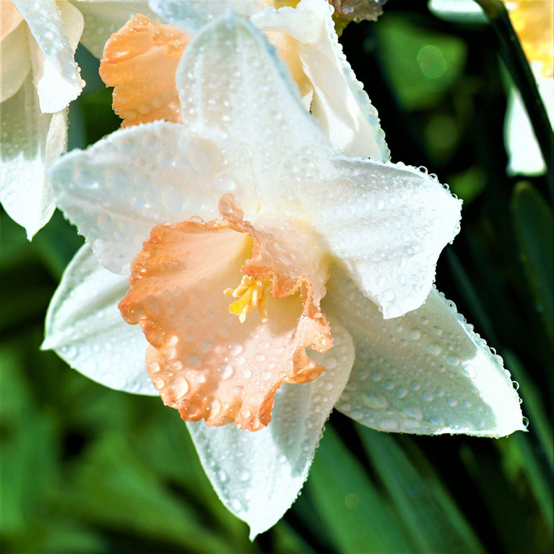 Narcissus Easter Bonnet