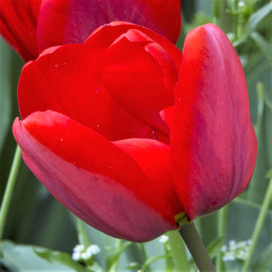 products/sq2Tulip_Coleur_Cardinal.SHUT.jpg