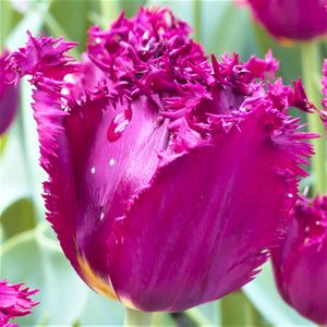 Tulip Fringed Curly Sue