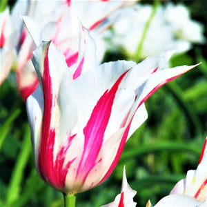 products/sq2Tulip_Marilyn.IBULB_3_c924f4f8-b963-43d1-b494-461bd4170394.jpg