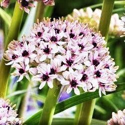 Allium Silver Spring (Fragrant)