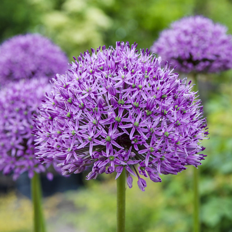 Spheres & Spires, Allium and Eremurus Collection