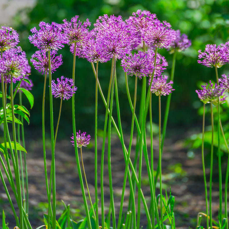 Allium Purple Sensation - Aflatunense