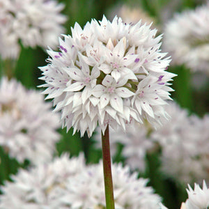 Allium Amplectens Graceful