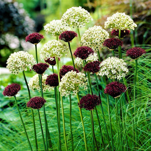 Allium Sonoma Collection