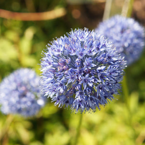 Allium Azureum (Blue of the Heavens)