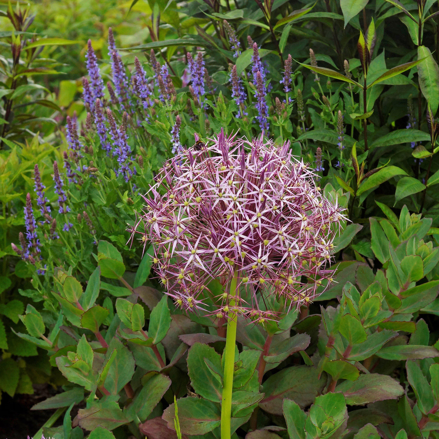 Allium Christophii Bulbs Star Of Persia Easy To Grow Bulbs