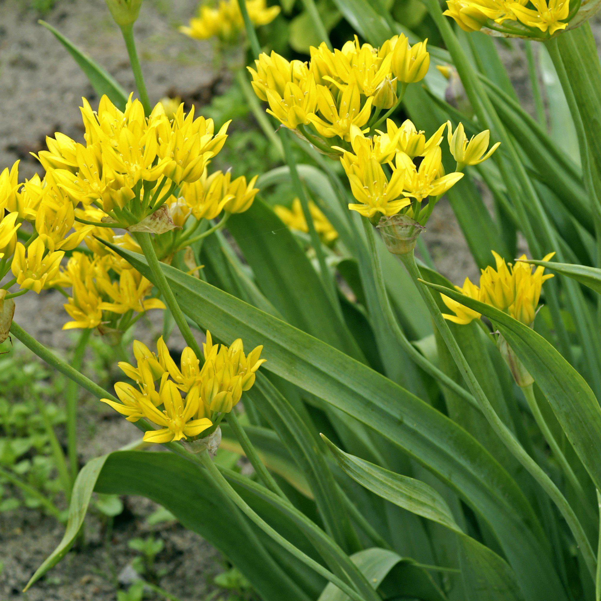 Allium Moly (Yellow Allium) – Easy To Grow Bulbs - photo#10