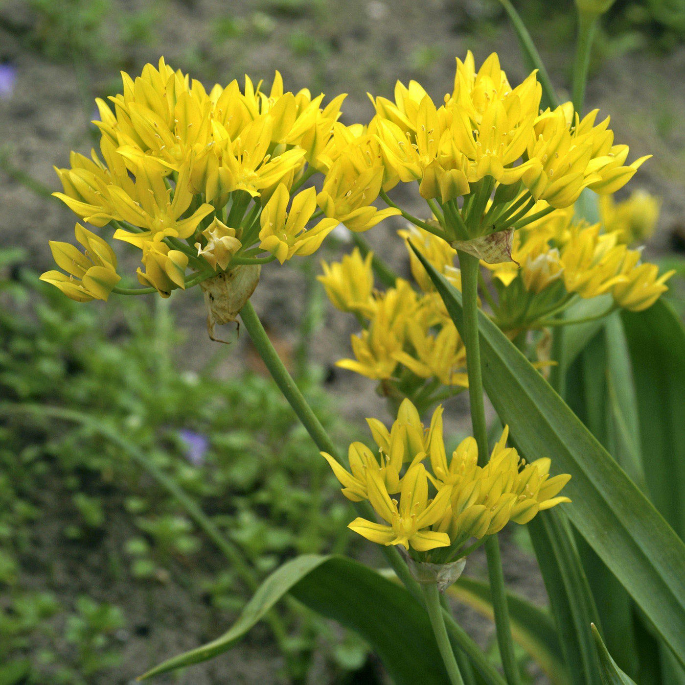 how to grow allium moly luteum
