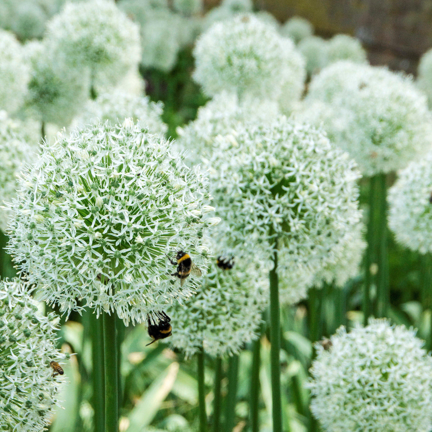 Allium Mount Everest Flowering Onion Easy To Grow Bulbs