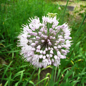 Allium Neapolitanum (Naples Garlic)