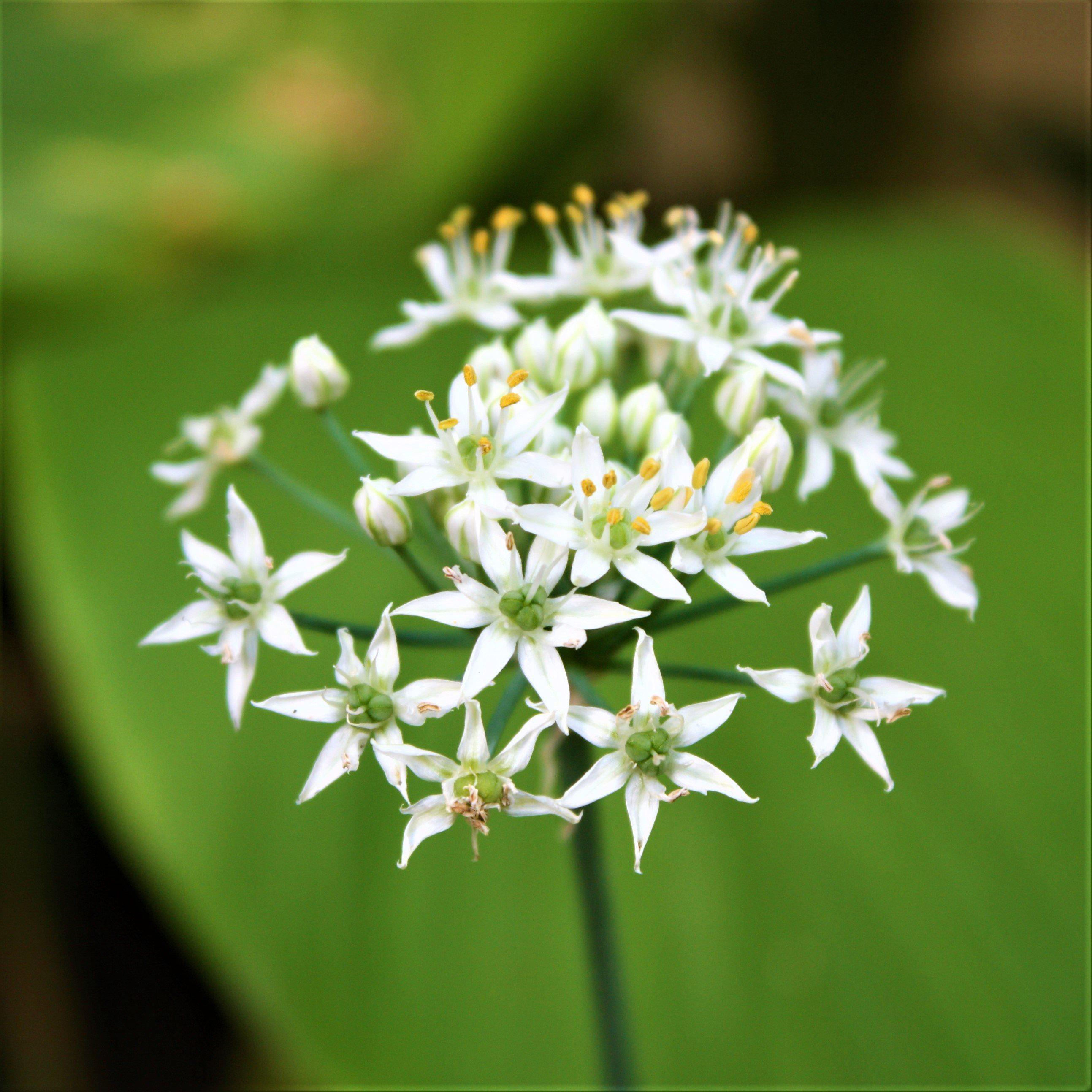 Allium Tuberosum Bulbs Garlic Chives Chinese Chives Easy To